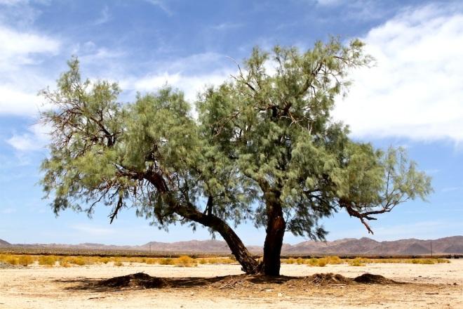 27 Bagdad Baum
